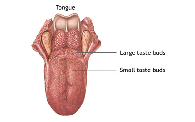sample_tongue_muscles